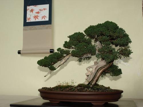 A perfect sabina tree