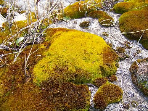 River moss