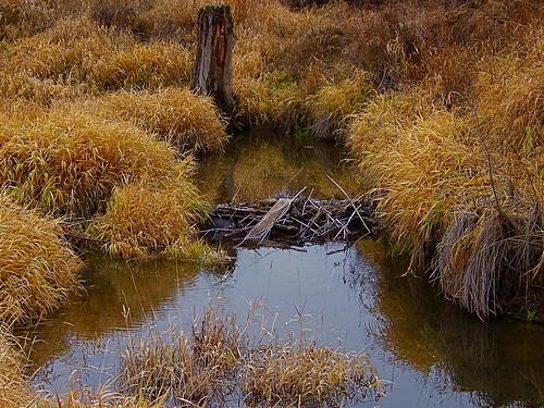 Beaver dam - December 1