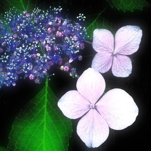 紫陽花祭り第二弾いくおー!(^O^☆♪ #紫陽花 #アジ祭 #flower