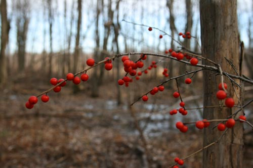 Winterberry, I think?