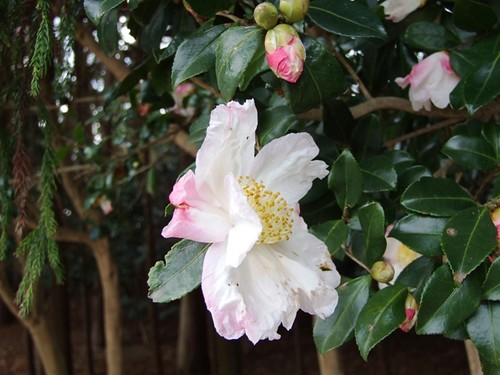 白花の山茶花~乙宝寺