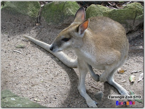 Taronga Zoo - Tamar Wallaby