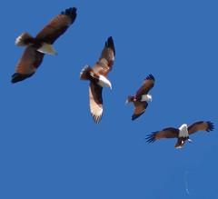 Brahminy Kite in flight, Australia
