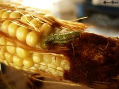 Gusano del Maiz / Corn Worm