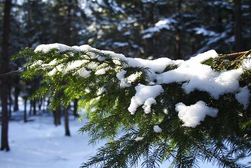 White Spruce 2