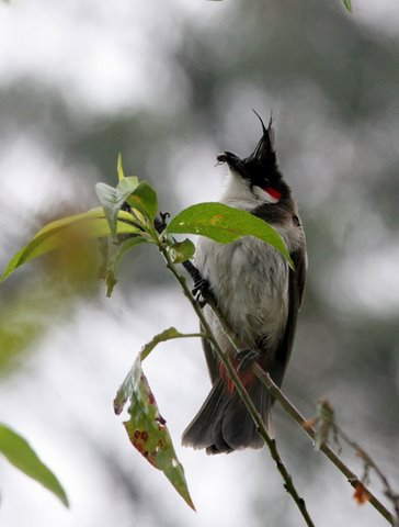 red whiskered bulbul with catch