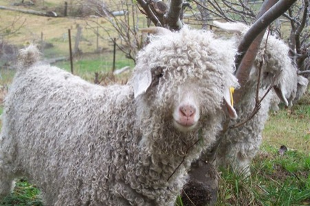 goats 002