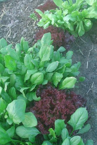 紫紅色A菜