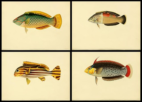 Fishes of Ceylon 1834 a