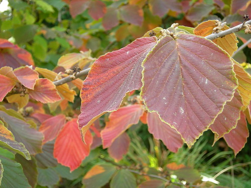 Multi-colored witch hazel leaves