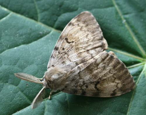 Lymantria dispar - Gypsy Moth (male) - 8318