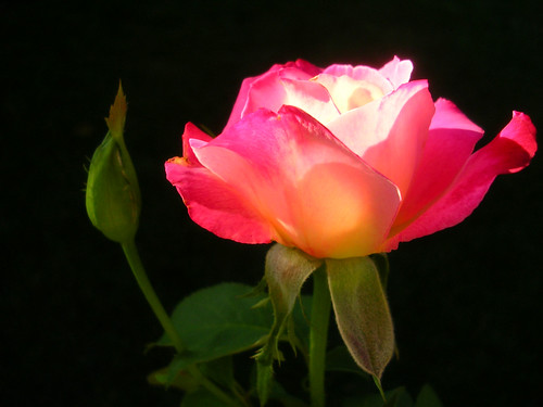 Rose-in-Evening-Sun2