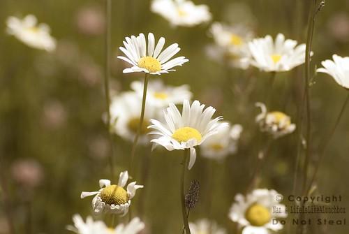 daisies6