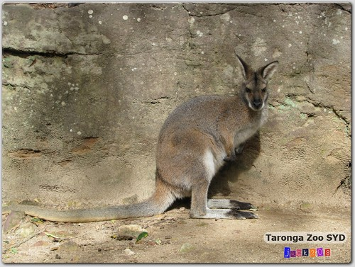 Taronga Zoo - Red-necked Wallaby