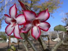 My Impala Lily Photo (by gwendolen)