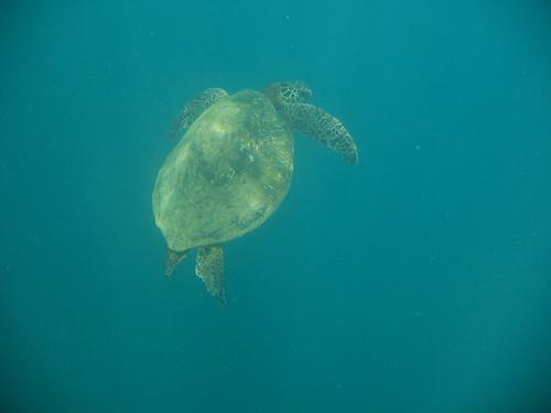 Green Sea Turtle by djscheil.