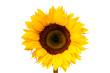 ist1_1895889-sunflower