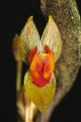 lephantes orquidea