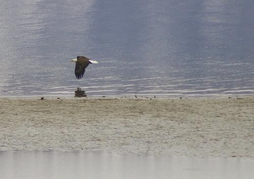 bald eagle in flight2