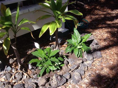 spathiphyllum plants