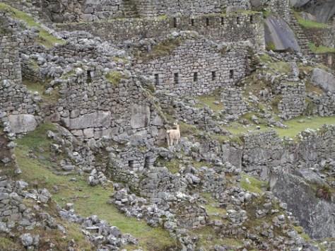 Alpaca and ruins