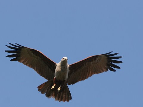 brahminy kite front forward