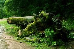 Árbol caido en la Quebrada de San Lorenzo