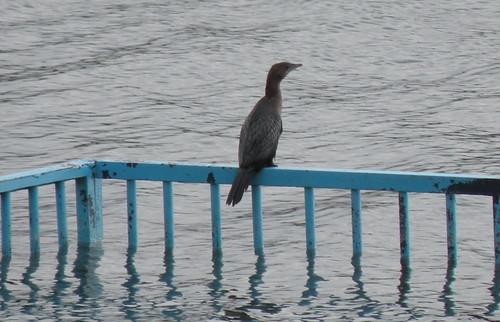 A Pygmy Cormorant Perches on a Swimming Cage at Ada Ciganlija - December 23, 2008