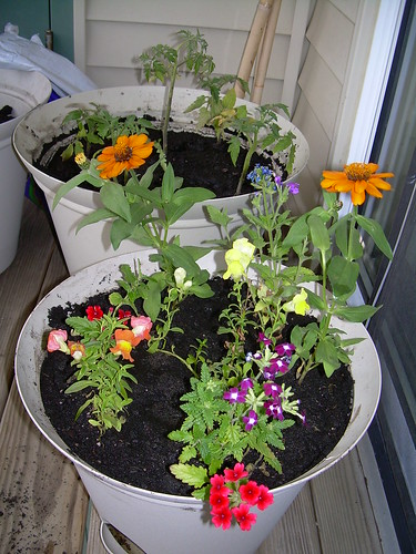 Tomato Plants and Flowers