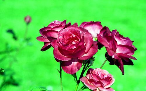 Roses with Green Background. (Fuji Superia Reala 100. Olympus OM-1. Epson V500.)