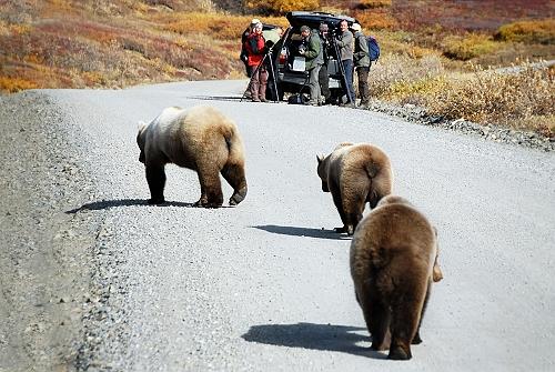 Brown Bears Denali Alaska