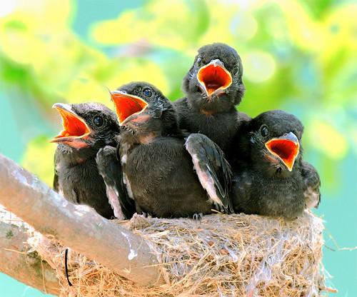 #316 烏鶖稚娃 (We are The bird- Beatles !) by John&Fish
