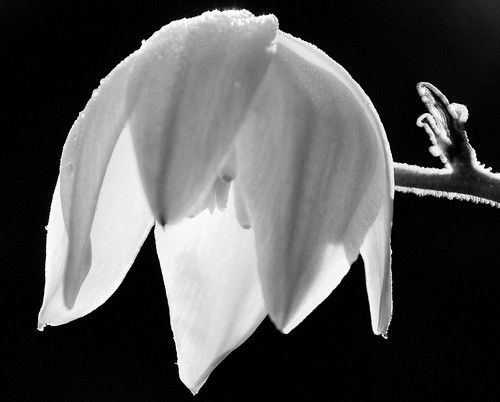 Bowing Yucca Flower