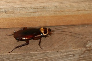 Periplaneta australasiae (Australian Cockroach)