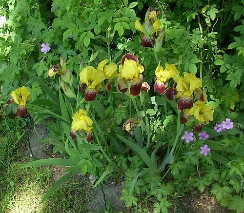 Zweifarbige Iris 1