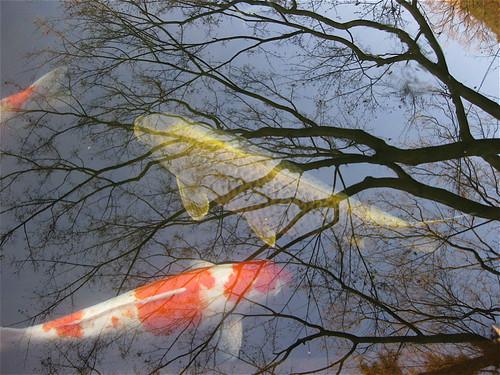 gold carp