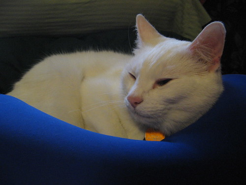 White Cat on Blue Pillow