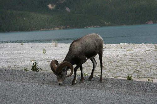 Bighorn sheep by you.