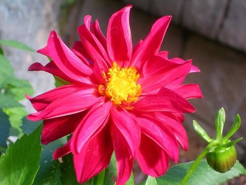 Bright-Red-Dahlia