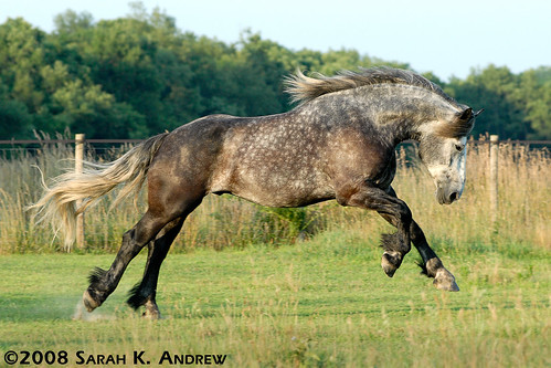 Atlas the Playful Percheron