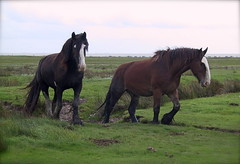 Shire horses on Juist
