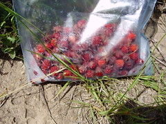 Freshly Picked Wild Strawberries