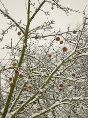 Apple tree under snow