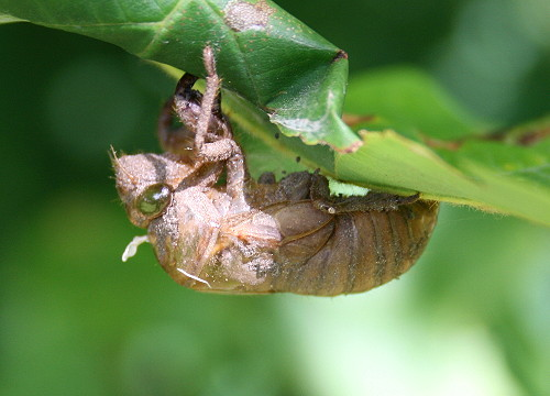 cicada17