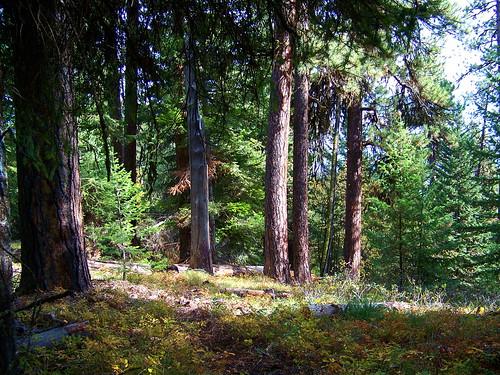 Large pines