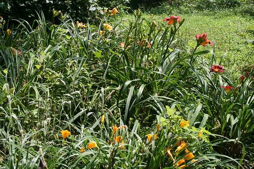 Prolific Lily Garden