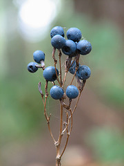 Blue Cohosh Berries by Jeff Tome