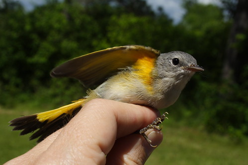 American Redstart Male 2a
