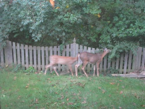 Deer in our yard - 20080912